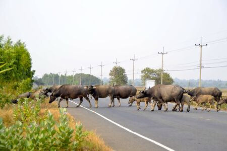 quadruped: Herd of buffalo crossing the road