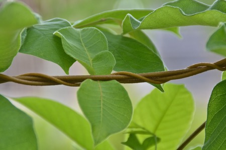 creeping plant: vine liana  creeping plant Stock Photo