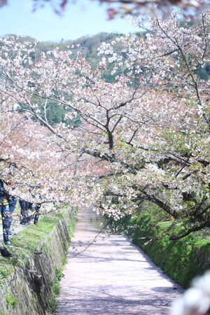philosophers: Kyoto, Japan - Philosophers Walk, a hiking path famous for its cherry blossom (sakura) , selective focus