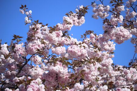 An image of Cherry Blossoms tree Stock fotó - 66311115