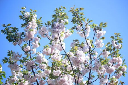 An image of Cherry Blossoms tree