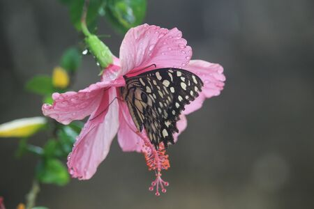 Butterfly on chaba flower in the morning