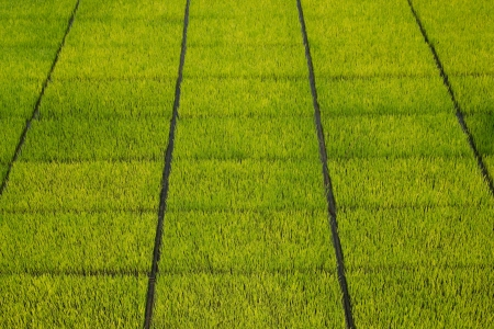 Green rice seedlings in the ground photo