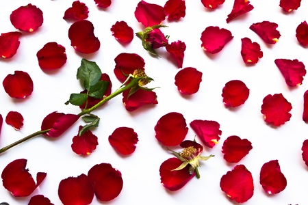Wilted red roses on a white background photo