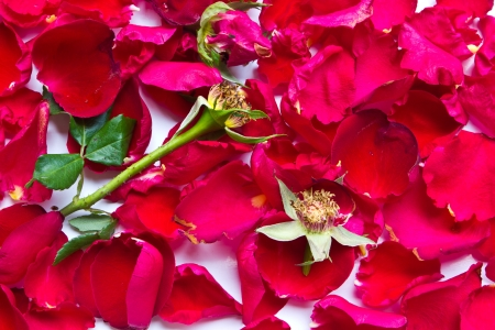 Wilted red roses on a white background Stock Photo - 17968491