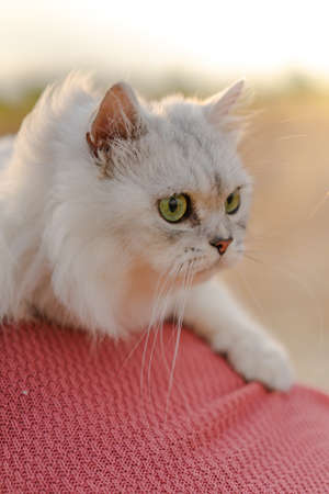 A closeup shot of a fluffy white Persian cat is watching something with a blurred background of warm tones in the evening. Feeling happy and fun. The idea for pet wallpaper with copy space. Archivio Fotografico