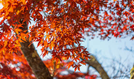 Close up shot of red maple leave in the morning light with the bokeh background. There was the light of the sun shining on the tree and there was a beautiful shadow. Feeling relax and refresh. Standard-Bild