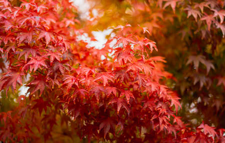 Close-up of red maple tree after a morning rain in Kawaguchiko, Japan. there are many clear water droplets on the leaves and blurred edges. Feels relaxed, refreshed, and hydrated. There is copy space.