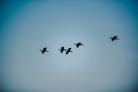 A low-angle shot of several blackbirds flying in the clear blue sky. The edges of the picture have a vignette with contrast. Feeling free and fun. The idea for poultry background with copy space. 免版税图像
