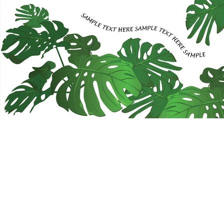 tropical leaves: Huge leaves of a tropical flower monstera