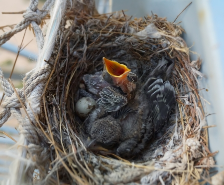cry for help: hungry baby bird with egg and another nestling in the nest Stock Photo