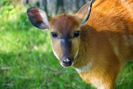 Beautiful female deer head close up photo
