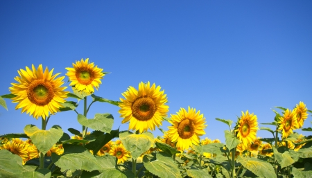 Curved sunflower field photo