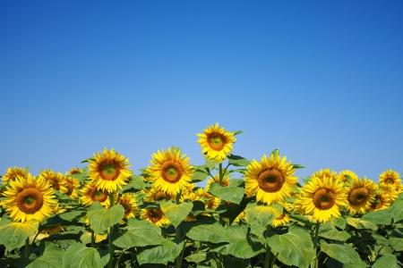 Jonge zonnebloemen Stockfoto