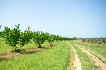 Curved path in orchard by the vineyard photo