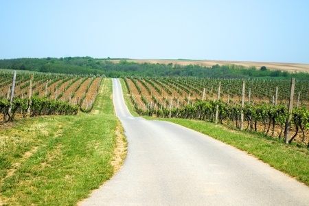Curvy road between vineyards on hills photo