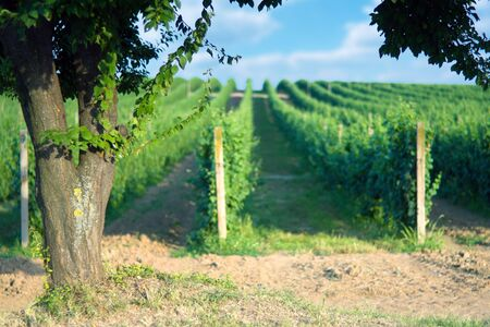 Tree by the vineyard rows with shallow depth focus on tree photo