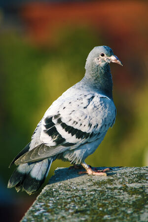 Close up of domestic pigeon on the edge of the roof Stock Photo - 23120026