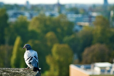Domestic pigeon on top of the building  photo