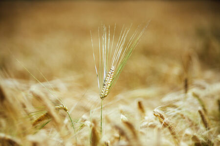 Wheat detail in old retro photo style with vignette photo