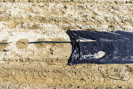 mulch: Protective agricultural film or foil with tube from trickle irrigation system