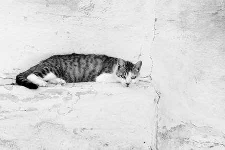Domestic cat relaxing on the old wall in black and white  photo