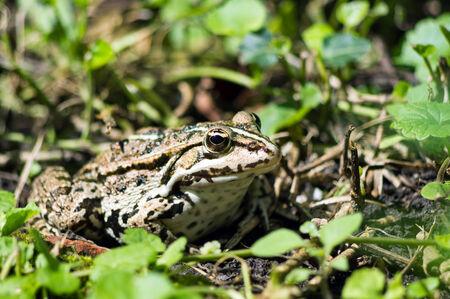 Common European Edible frog hiding in the grass photo