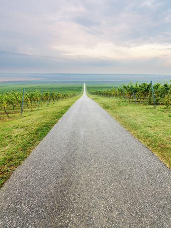 wine road: Long straight road through vineyard rows on agricultural field