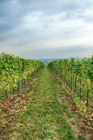 viticulture: Grapevine rows on viticulture field Stock Photo