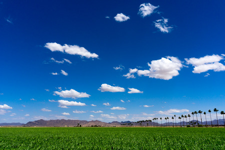 Green Sudan field under the blue sky, in Yuma Arizona. Banco de Imagens