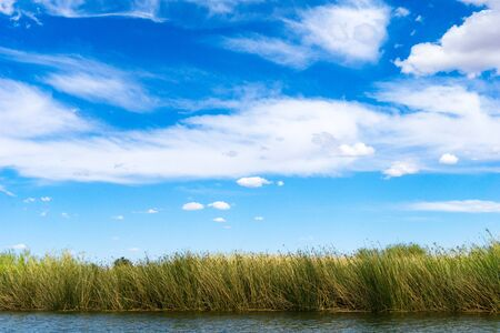 Bulrush in Colorado river under blue sky in Yuma Arizona