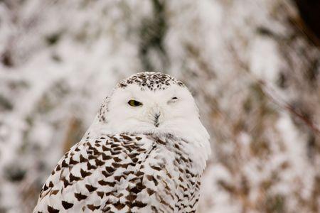 Owl in zoo, enjoying the snow photo