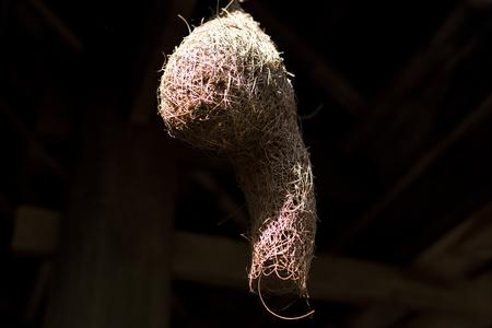 Birs nest of Weaver in the park. Bird nest of Weaver