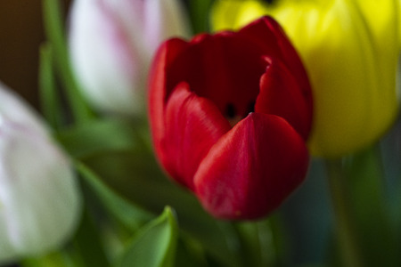 Red tulip on colorful background Stock Photo