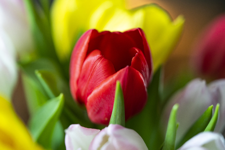 Colorful tulips with leafs Stock Photo