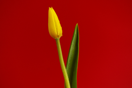 Yellow tulip on red background