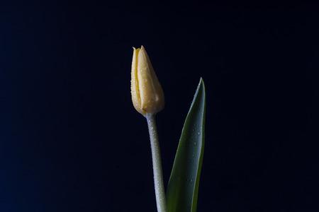 Yellow tulip on balck background
