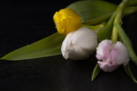 Pink tulip on black background Stock Photo