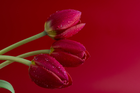 Red tulip on red background Stock Photo