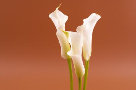 Fresh white cala lily