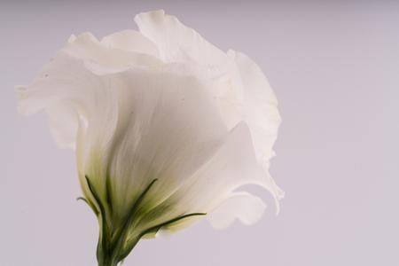 Fresh and white lisianthus flower