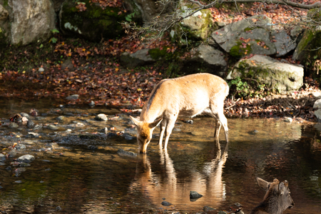 Deer is drinking water  in the canal Stock Photo