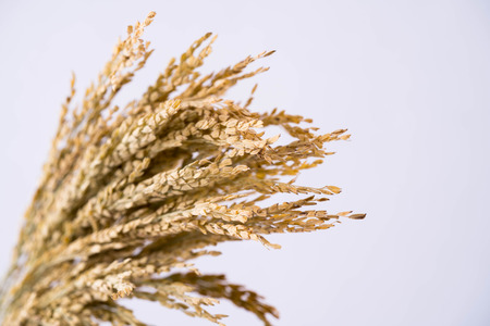 Dry bunch of ear of rice  on white background