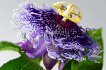 Blue Passion Flower in the garden