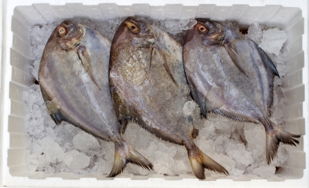 Three of black Pomfret on ice in foam box photo