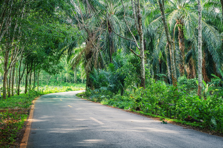 Road Between Row of expired para rubber tree and palm tree photo