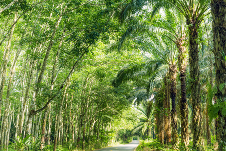 para: Road Between Row of expired para rubber tree and palm tree
