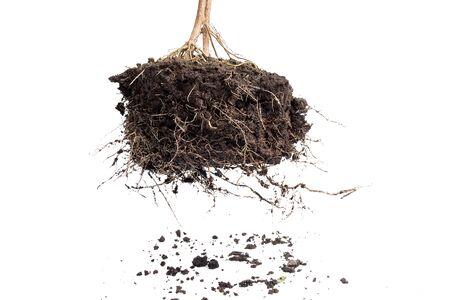 raíz de planta: Planta de raíz con el suelo aislado en el fondo blanco