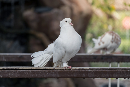 coo: White dove in the zoo