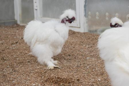 bantam hen: Fancy Silkie chicken in farm